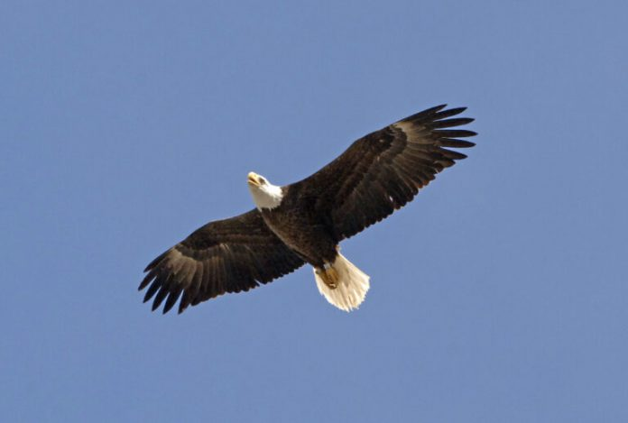 restrictions-in-place-as-bald-eagle-breeding-season-begins
